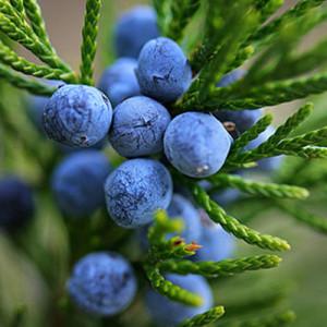 juniper-berry-2